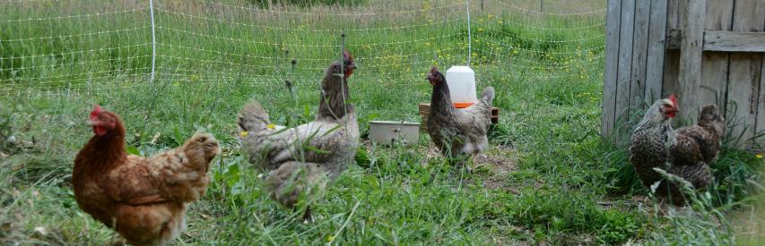 Des poules élevées dans un jardin